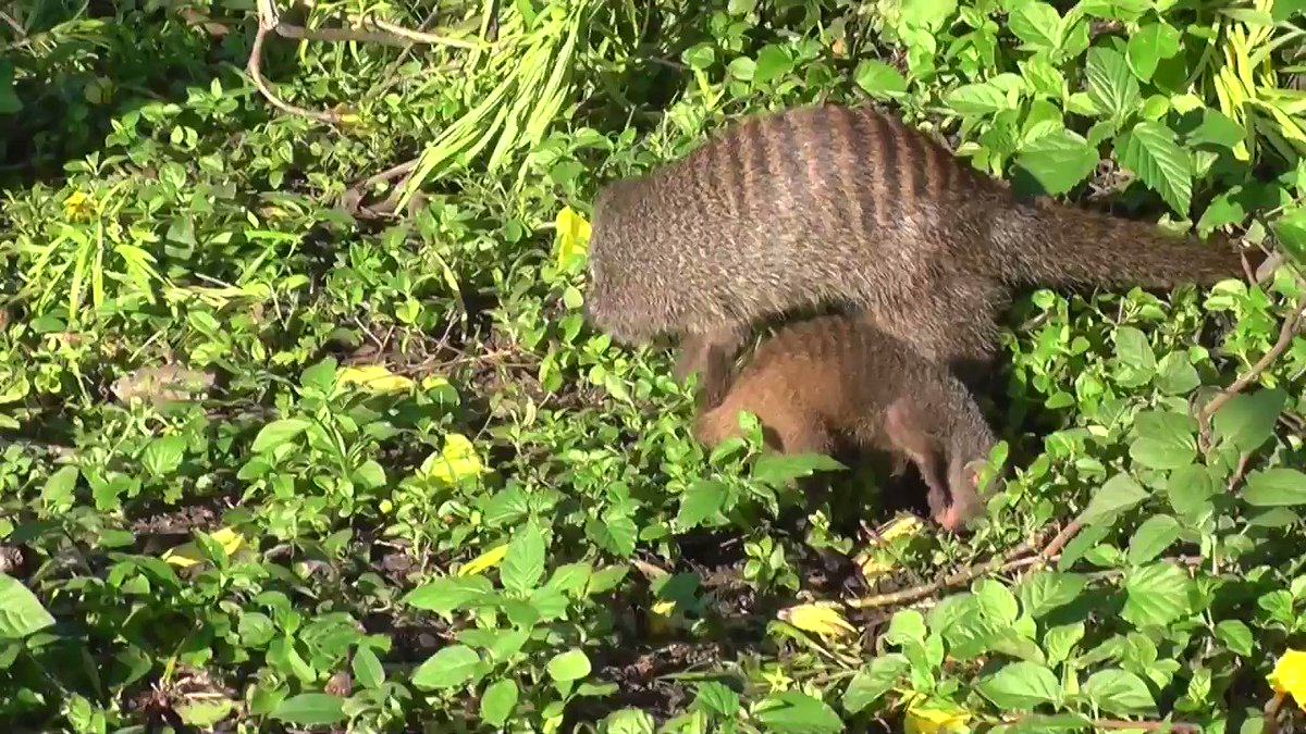 For the first two to three months of a mongoose pup's life, it shadows an adult that's not its parent https://t.co/5qxeBKcGaa