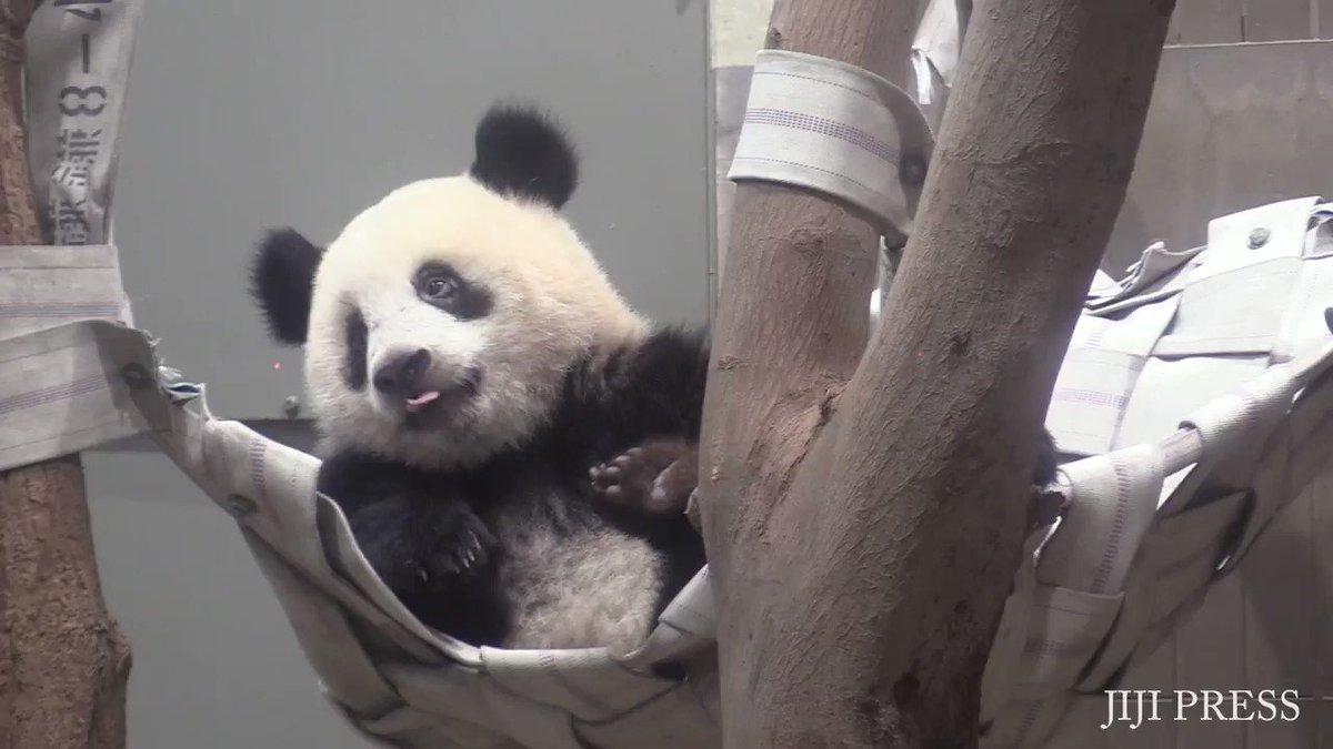 上野動物園(東京都)は11日、1歳の誕生日を翌日に控えたジャイアントパンダ「シャンシャン」を報道陣に公開しました。記事→   #上野動物園 #シャンシャン