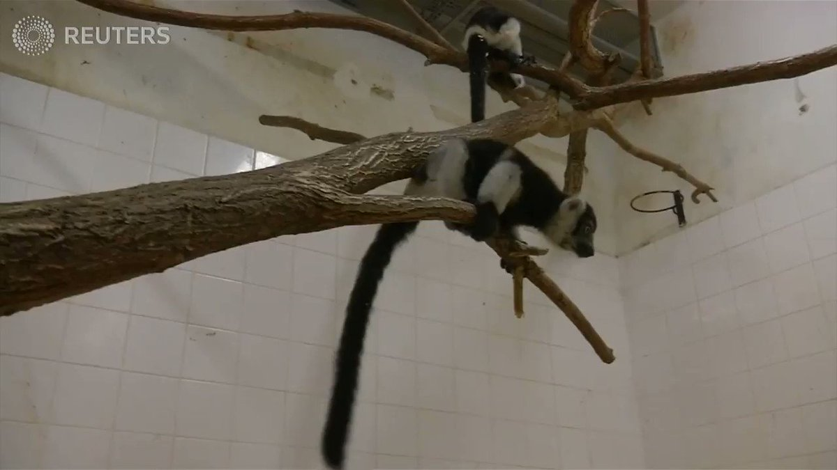 WATCH: Despite the odds, Prauge Zoo successfully bred three white-belted ruffed baby lemurs https://t.co/6MUB7GlF0O