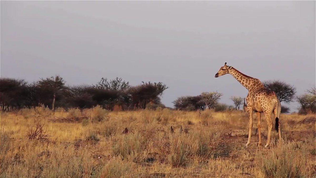 It may not be World Giraffe Day...but it's still an excellent day to #BeltTheBallot!  https://t.co/51LAfiAPUQ https://t.co/75zPfLFckl