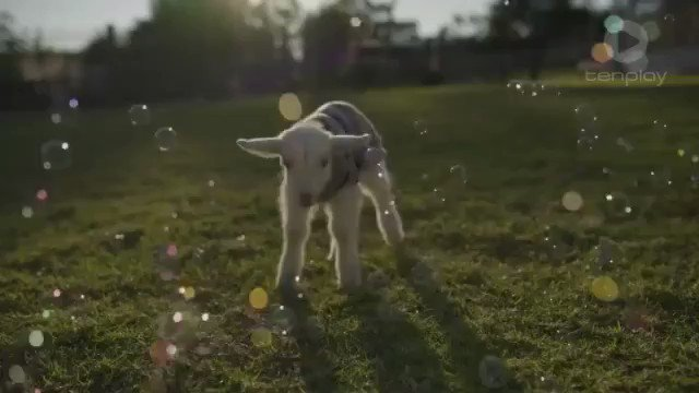 Image for the Tweet beginning: Baby Goats And Bubbles: Get