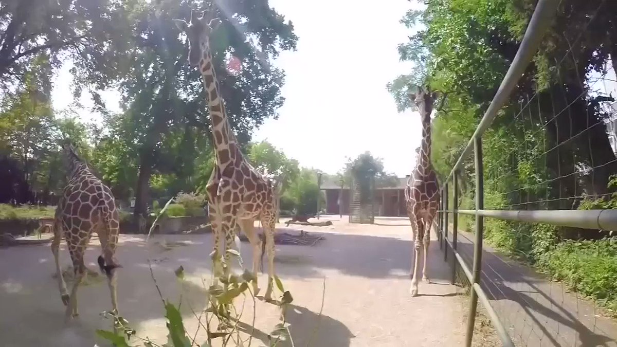 Getting up close and personal with the animals in Cologne zoo at feeding time. Via @ReutersTV https://t.co/DCfEvyxeKM