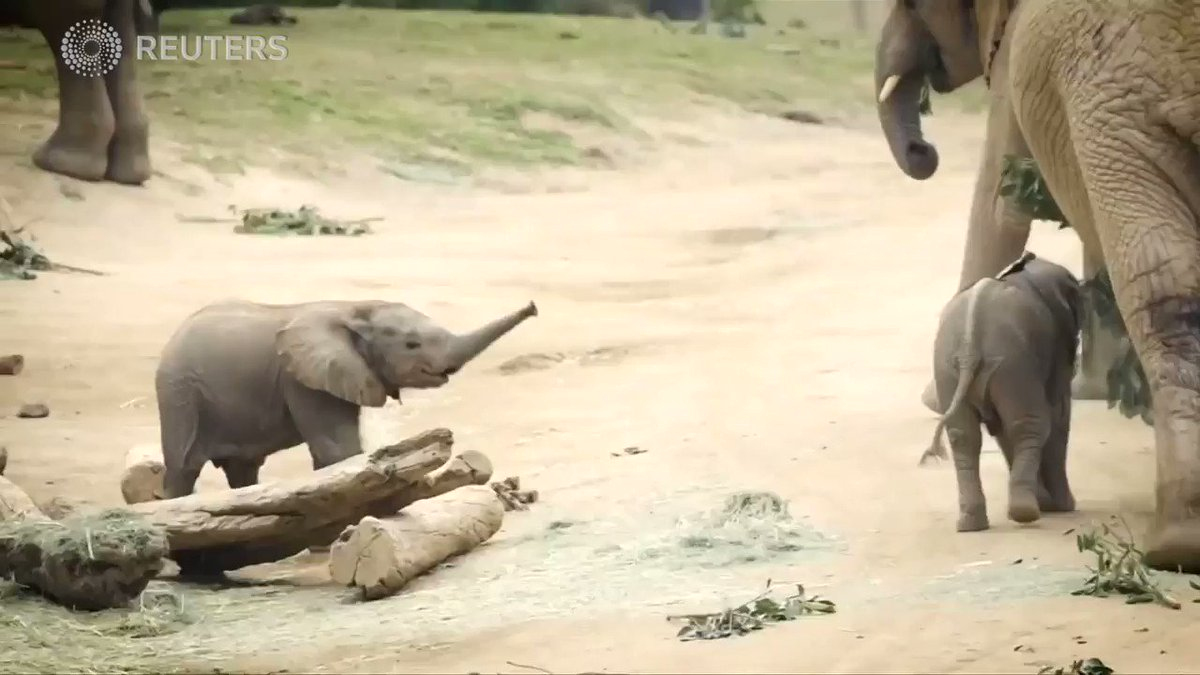 Watch baby elephants learn to ride with the herd at San Diego Zoo https://t.co/U5s2md5nso