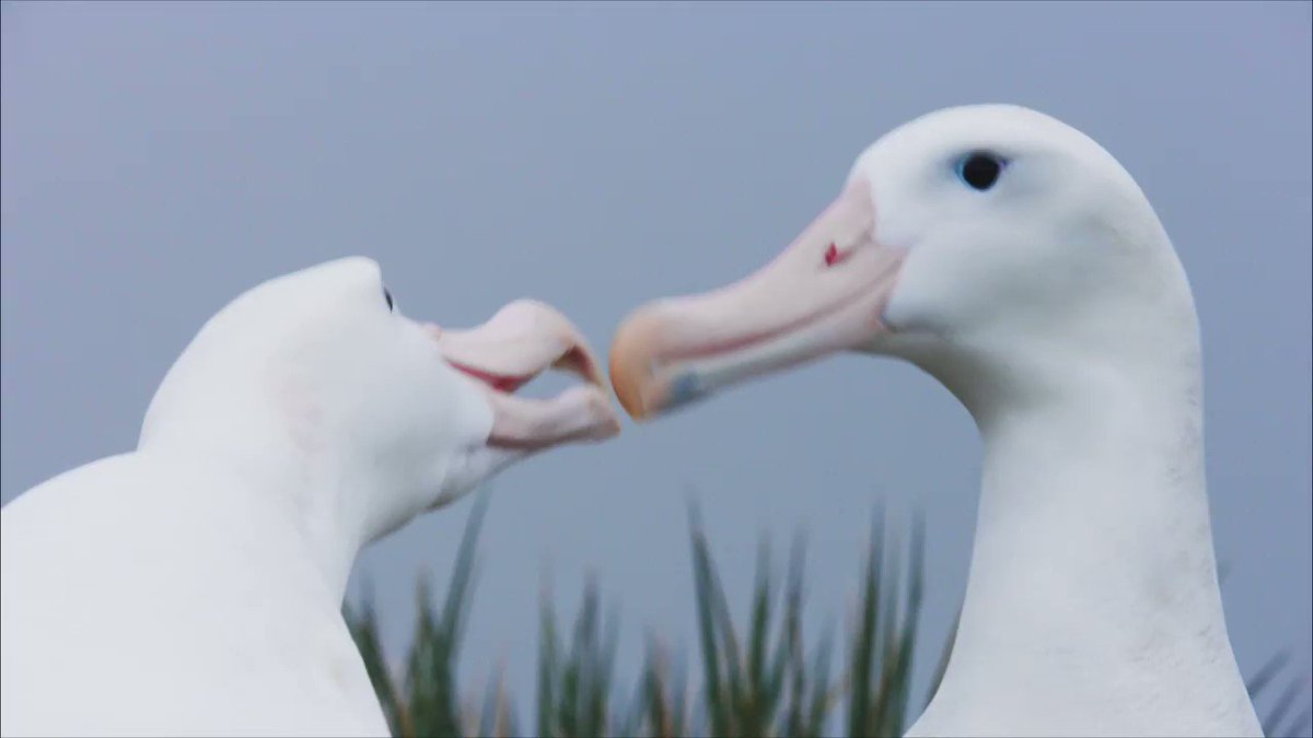 Albatrosses can fly millions of miles during a lifetime, but they don't live a solitary existence