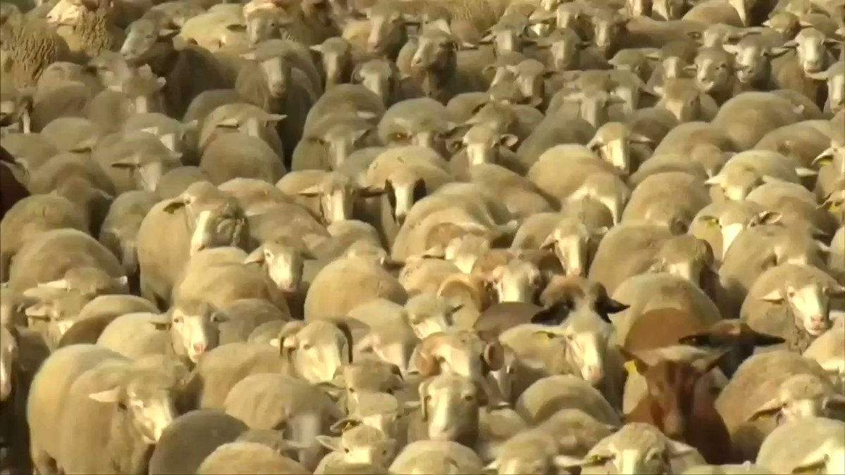 Sheep replace traffic in the heart of Madrid https://t.co/2qBxtCfWZe https://t.co/jJkupyiivF