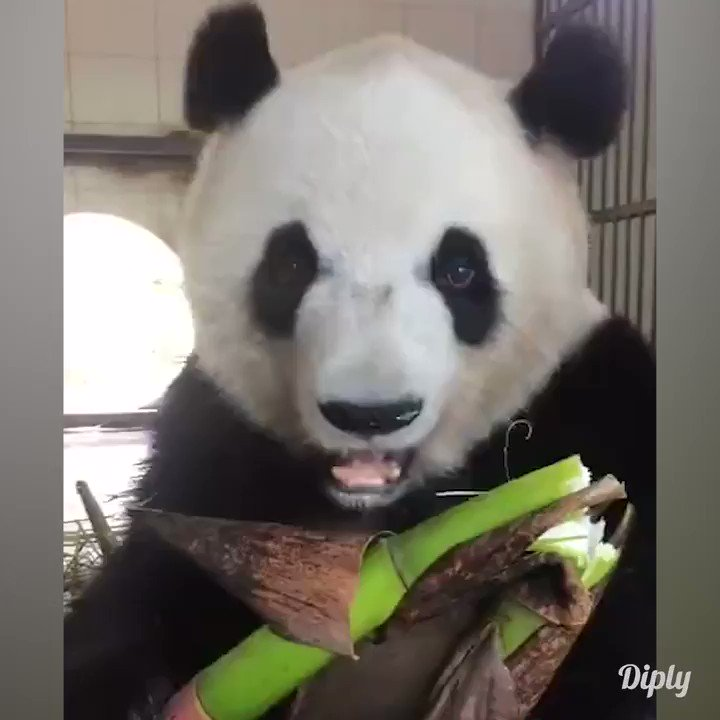 Bamboo is no match for this panda.