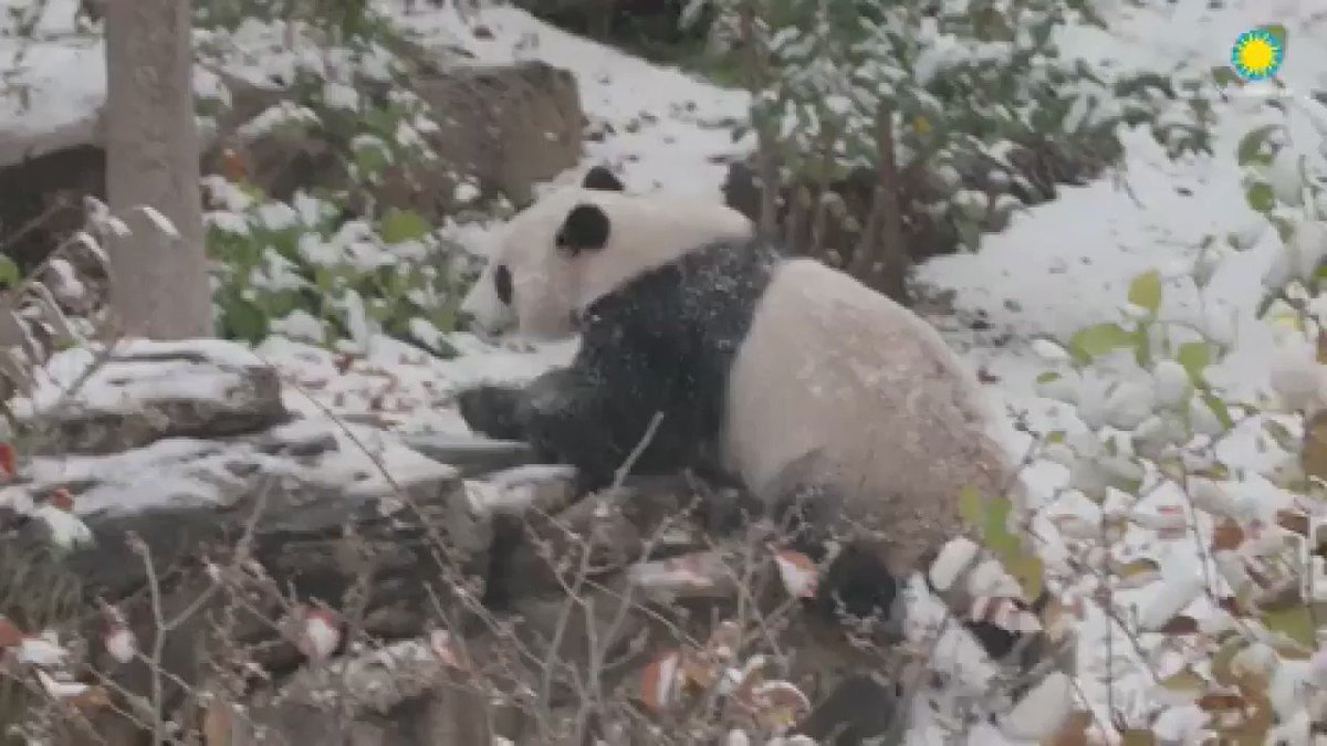 Watch Bei Bei the panda roll around in this season's first snowfall