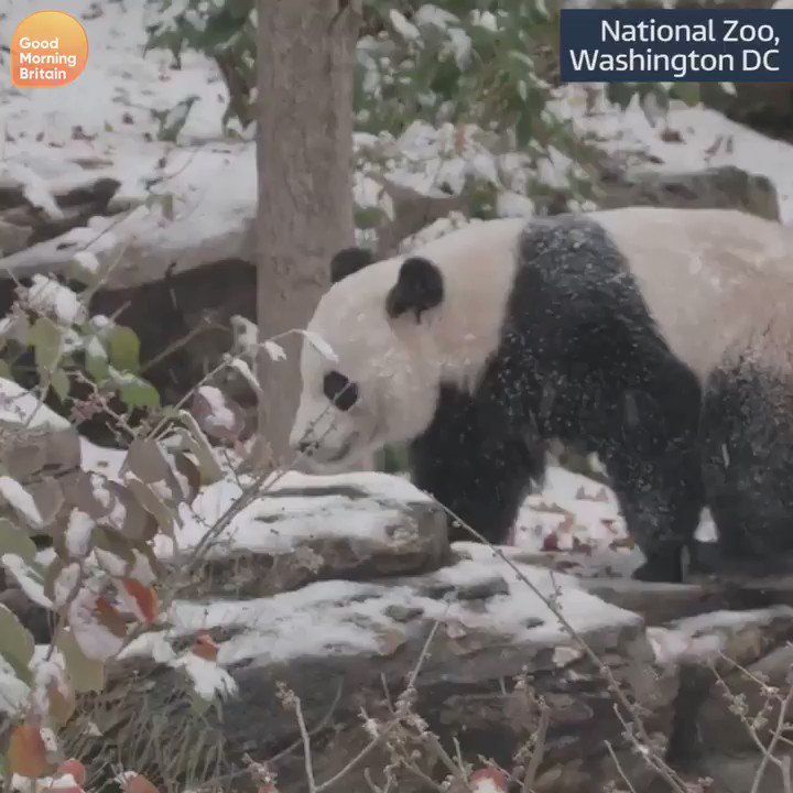 Its been snowing in Washington DC - and this panda is loving it. Some would say its pandemonium... (sorry)