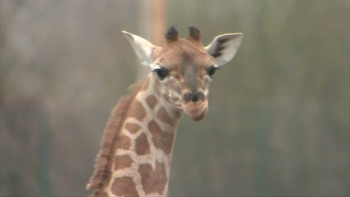 Two-week-old giraffe plays in her new home at Berlin zoo