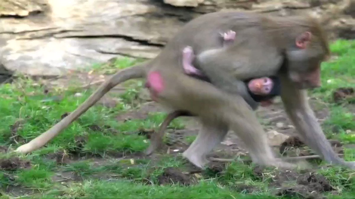 California zoo welcomes a new member to their Hamadryas baboon troop
