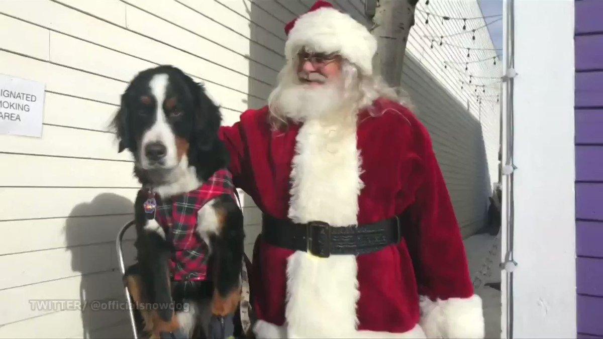 Pups get into the holiday spirit at the Bernese Mountain Dog Parade in Breckenridge, Colorado