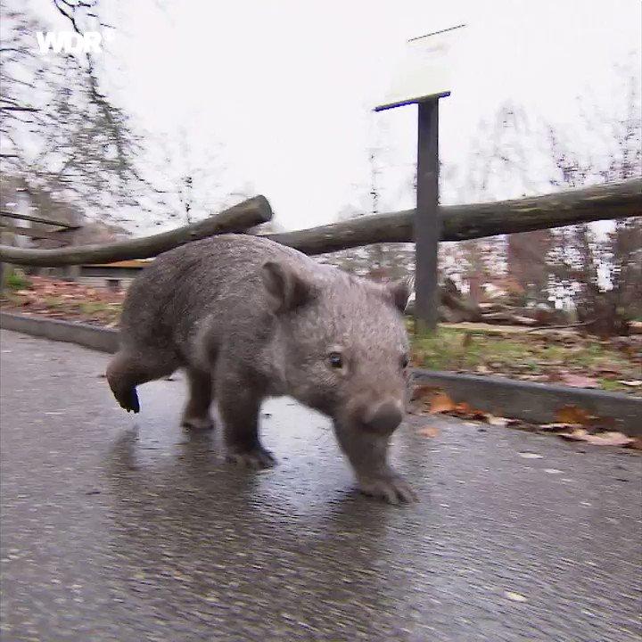 Jeder kann so einen Wombat in seiner Timeline gebrauchen.