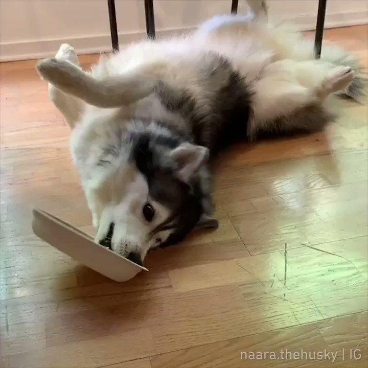 When you're too lazy to get up to eat  📹 naara.thehusky | IG