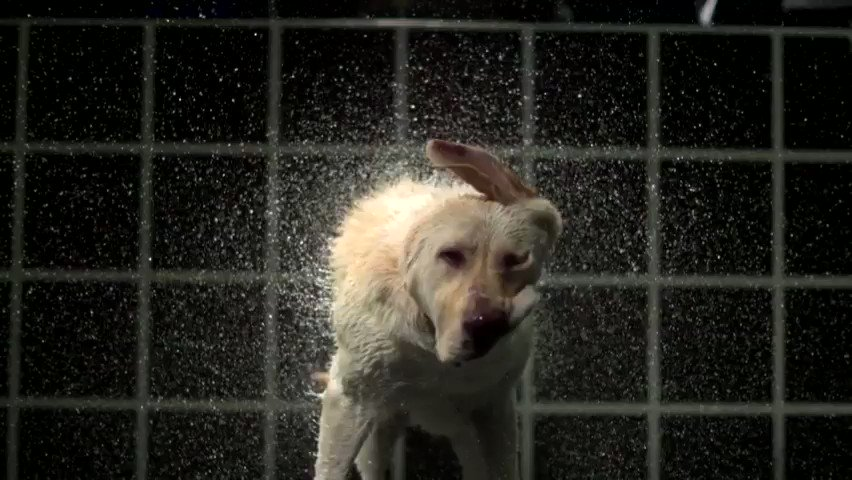There are SO MANY awesome high-speeds in tonight's #MythBusters Jr, on @ScienceChannel. Labrador owners WILL fall in love with this one. So, how much water weight DOES a dog shake off, anyway? #dogs #labradors #retreivers #slomofootage #science