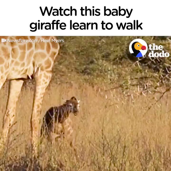 The first few minutes of this baby giraffe's life are pure magic 💖