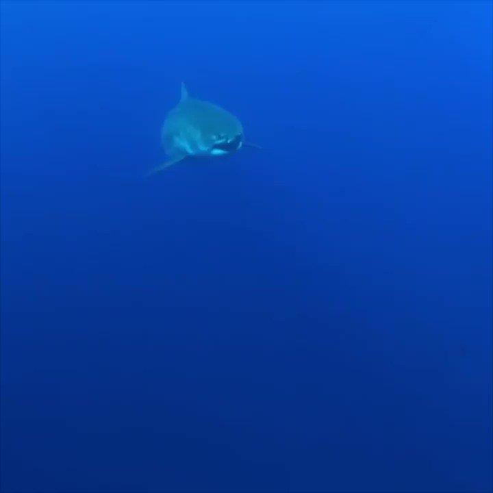 📌 20 yıl sonra ortaya çıkan dev köpek balığı kadın dalgıçla dans etti