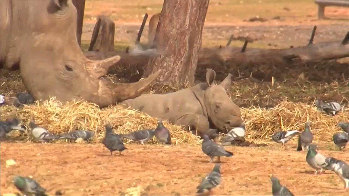 A newborn female rhino joins Israel zoo