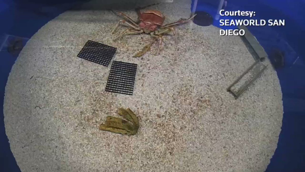 WATCH: Japanese spider crab transforms in timelapse video