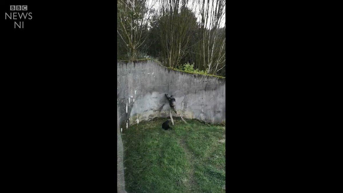 Chimpanzees Build Makeshift Ladder, Break Free From Zoo Enclosure