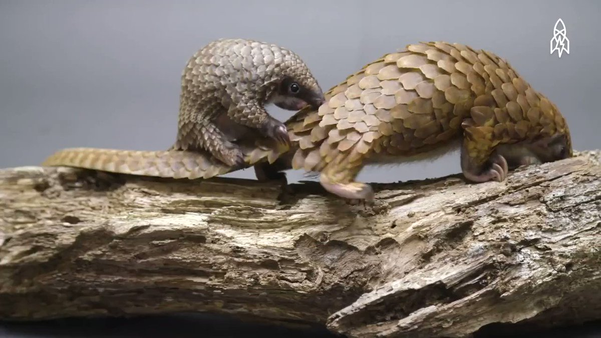 #Pangolins may have spread #coronavirus to humans, researchers found bit.do/fsgs3 via @Guardian | The disease has killed over 720 people worldwide as of today, mostly in China. Intl trade in all 8 species of #pangolin is prohibited under CITES. 🎥by @greatbigstory