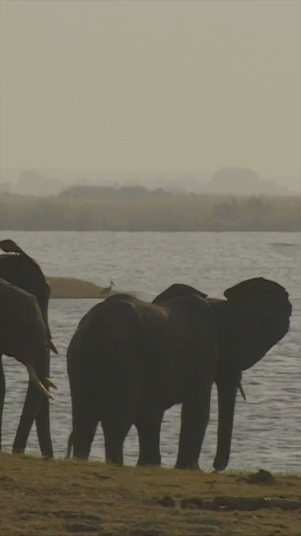 Botswana is considering turning elephants into pet food and lifting a hunting ban  [Tap to expand] http://bbc.in/2STtST1