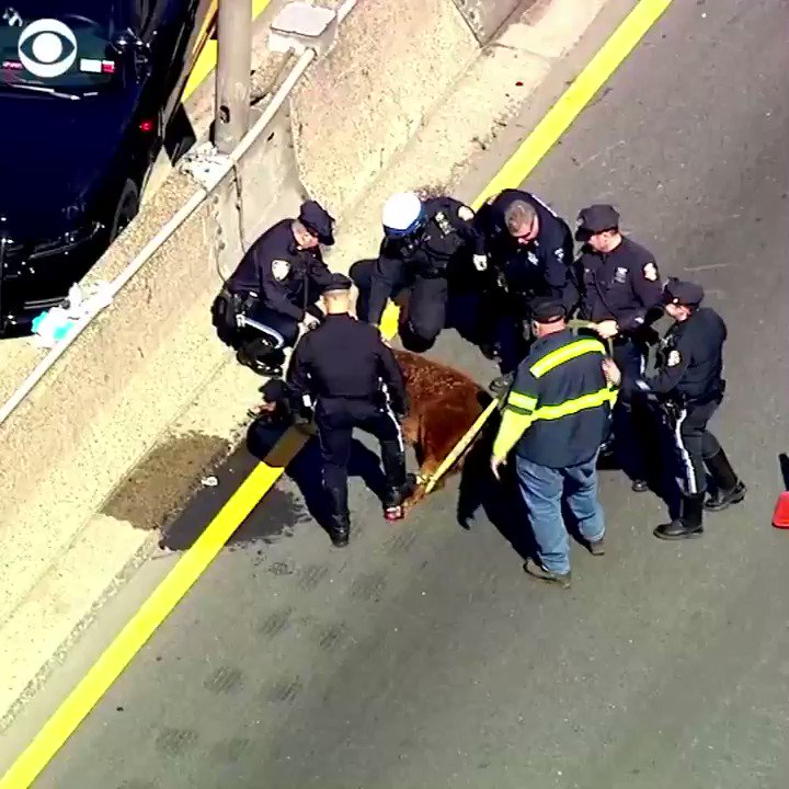 ON THE MOO-VE: A cow somehow ended up on an expressway in The Bronx — stopping traffic and causing udder confusion