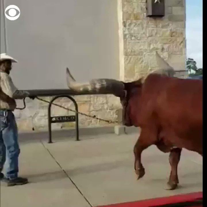 "Damn! Man takes a giant steer into Petco (Texas) to test their ""all leashed pets"" are welcome policy.    Who's going to tell me to leave? Not Me!"