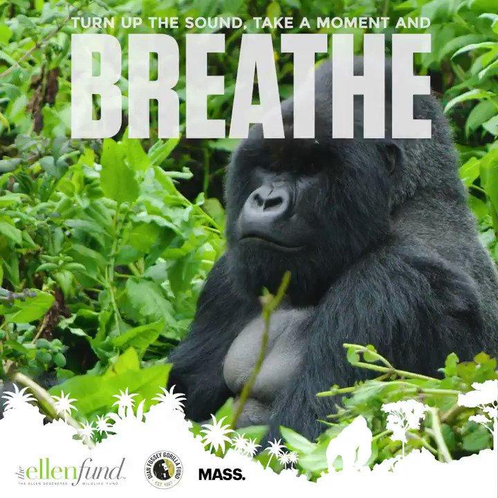 Celebrate #NationalRelaxationDay with this gorilla. @TheEllenFund #WeNeedGorillas
