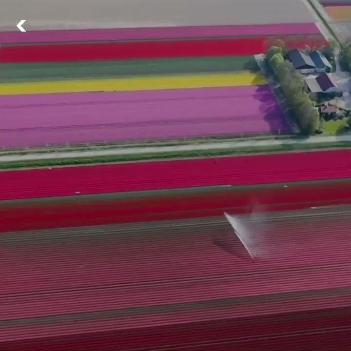 These Dutch tulip fields are world famous 😍🌷