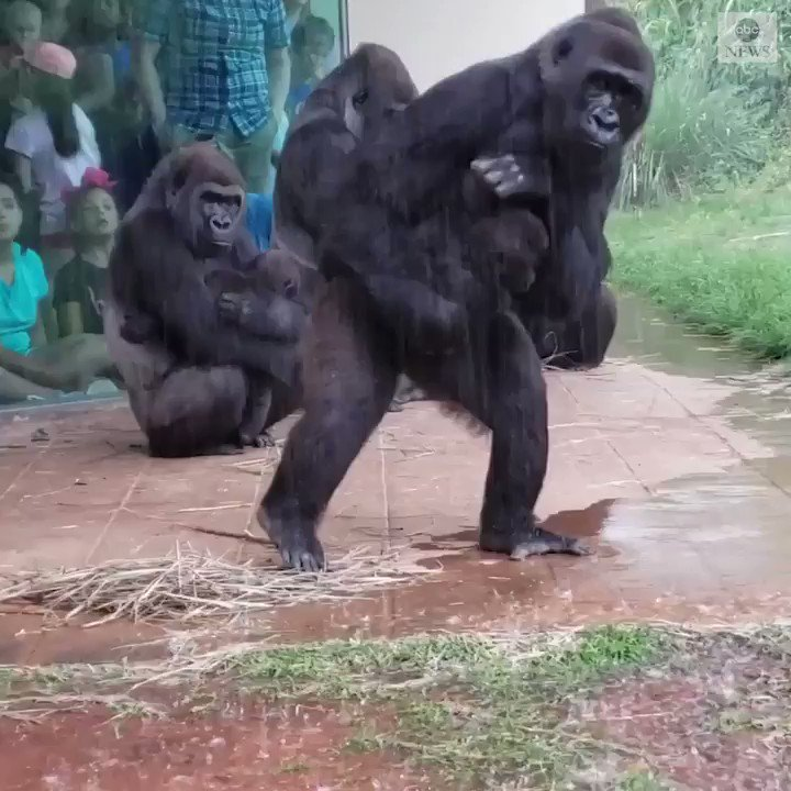 Gorillas at a South Carolina zoo trying to avoid the rain peak out from under their enclosure before they finally making a break for it. https://abcn.ws/2HjjSJY