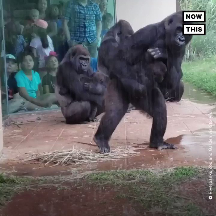 Watch these gorillas skillfully avoid heavy rainfall at this zoo
