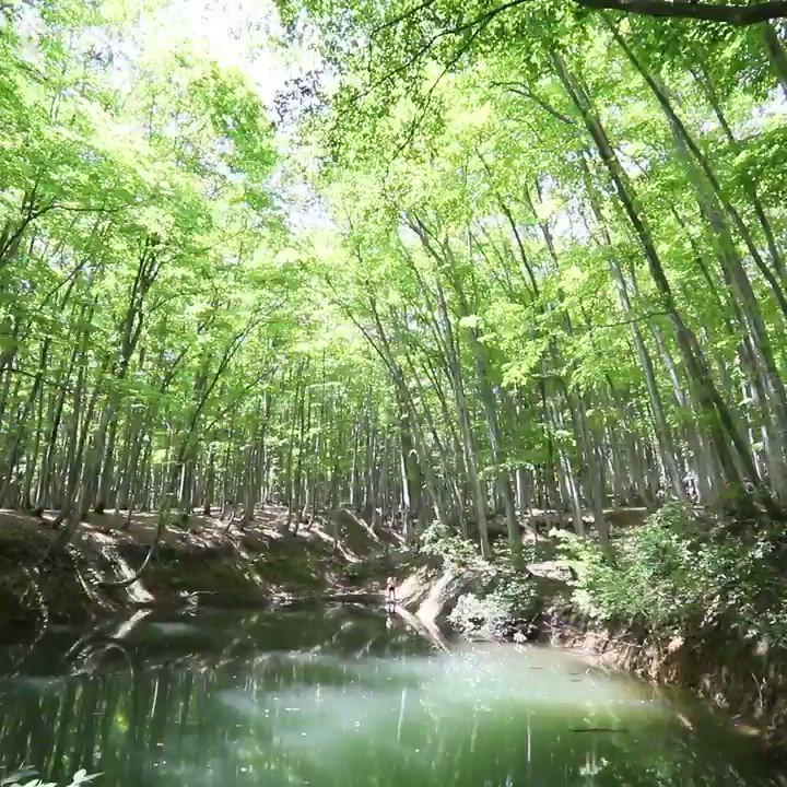 新潟県十日町市で、立ち姿が美しいことから「美人林」と呼ばれるブナ林が新緑の季節を迎えています。オリジナル版は→https://t.co/H5gl4TfNo...