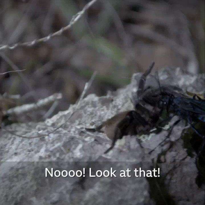 This wasp EATS tarantulas! 😱🕷 #UndiscoveredWorlds