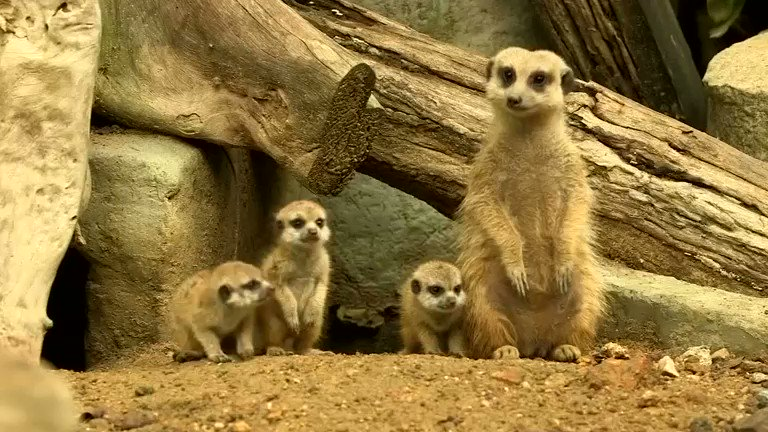 Image for the Tweet beginning: Throwback: These baby meerkats are