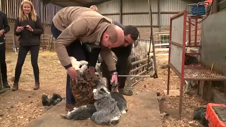 ICYMI: The Duke and Duchess of Cambridge try their hand at sheep shearing