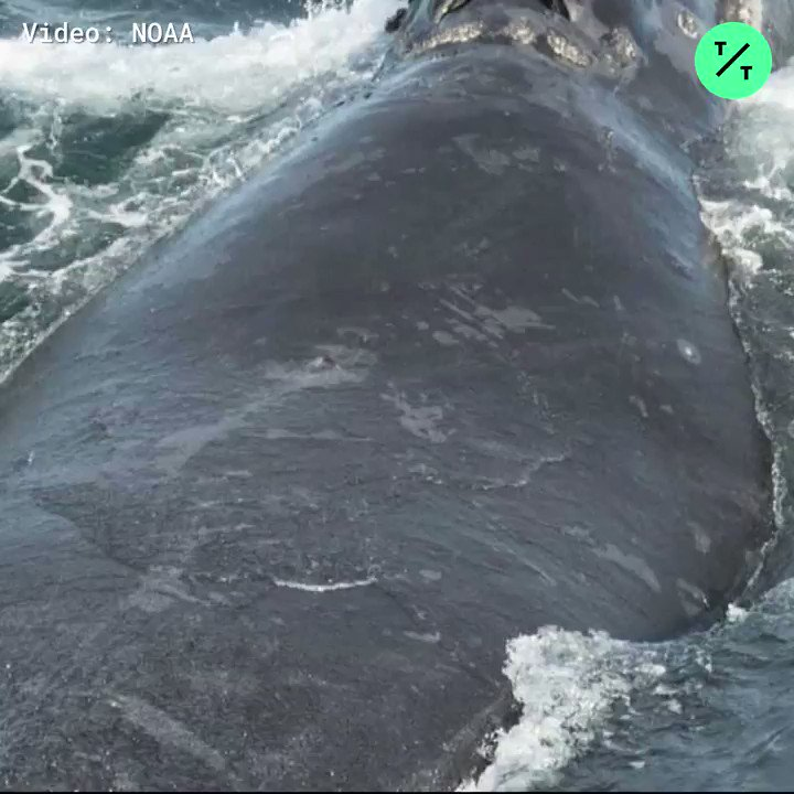 🔊Scientists at @NOAA recorded the first sound of right whales singing