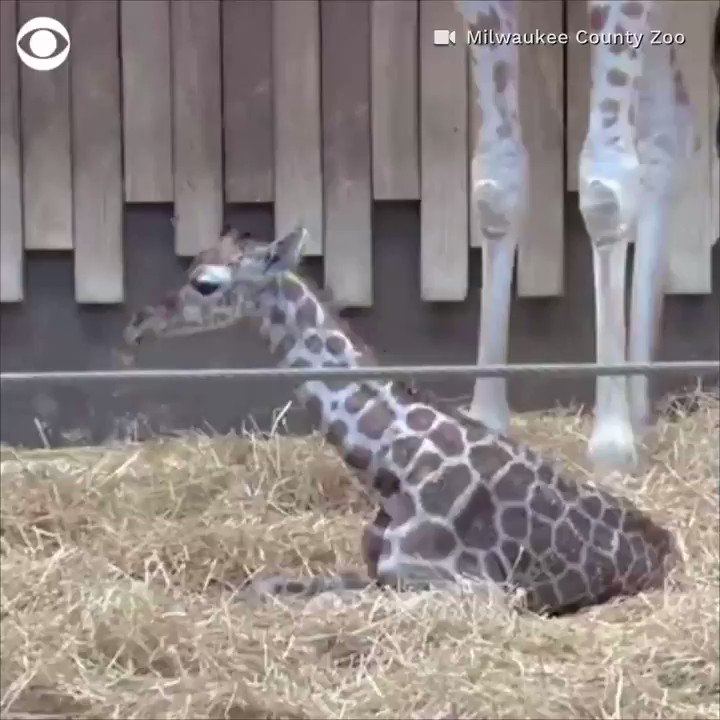 ADORABLE: Baby giraffe takes its first steps at the Milwaukee County Zoo, just 55 minutes after it was born on Saturday 🦒  https://cbsn.ws/2RKYNvR
