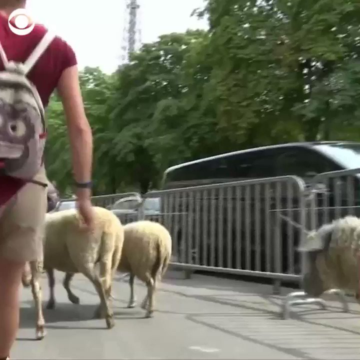 LE TOUR DE SHEEP: A flock of sheep just completed a 12-day journey around Paris, nibbling on grass at historic monuments like the Eiffel Tower 🐑