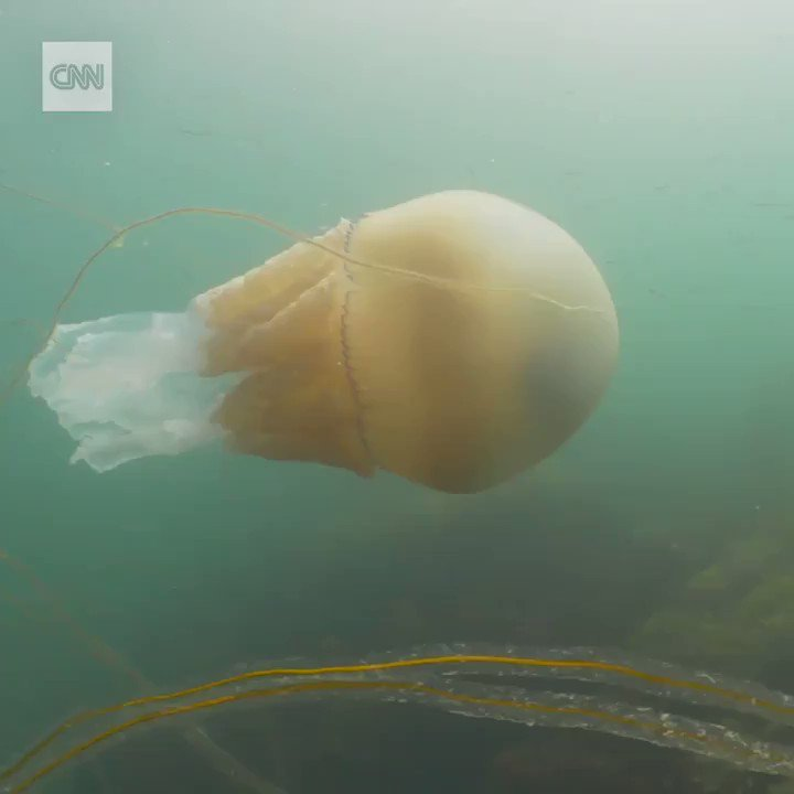 "This enormous, human-size jellyfish was recently spotted off the southwest coast of England.  ""What an unforgettable experience,"" said Lizzy Daly, the diver who encountered the unusually large creature. https://cnn.it/2Y2HQQm"