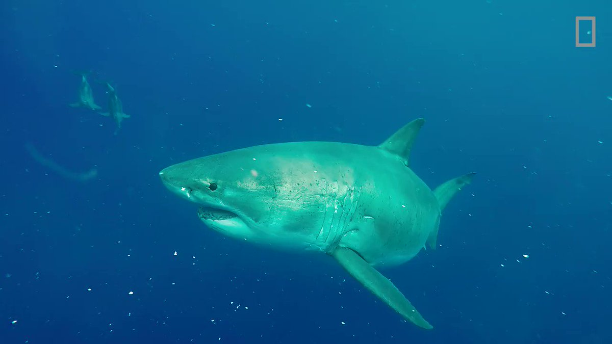 """The famous and elusive """"Deep Blue"""" was recently recorded feasting on a sperm whale carcass with two other female great whites #Sharkfest"""