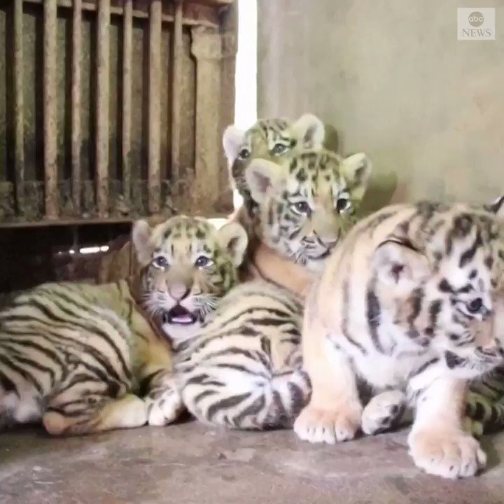 Manchurian tiger quintuplets made their debut at a zoo in China, 30 days after they were born, drawing local residents to the zoo. Zookeepers have started feeding them meat to help stimulate preying instincts. https://abcn.ws/31xCwX2