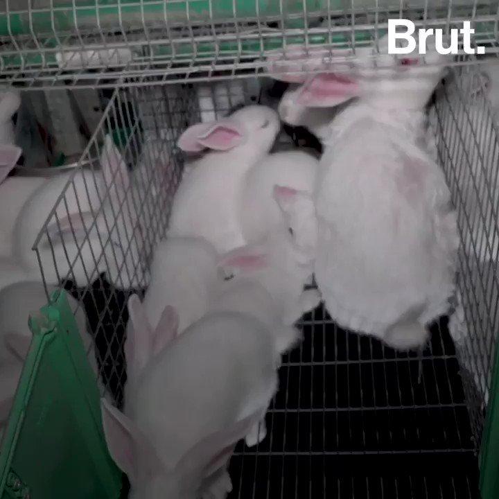 Quest-ce qui lie les lapins dans nos assiettes à des chevaux en Amérique du Sud ? Une hormone extrêmement controversée et des conditions délevage qui le sont tout autant... Des images filmées par @L214