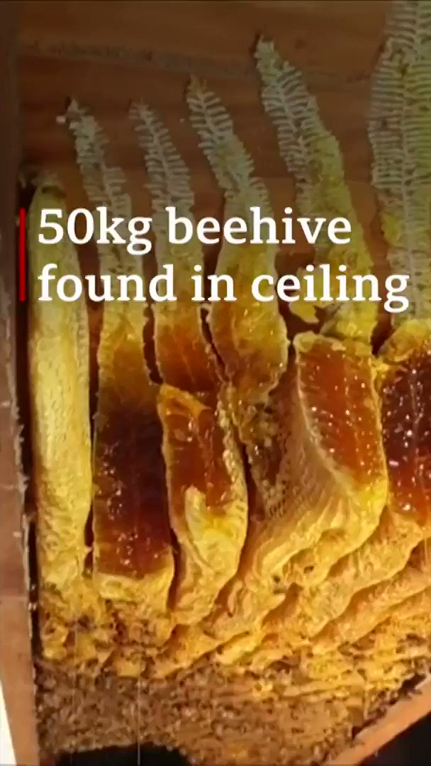 Beelieve it when you see it 👀😲  This giant beehive was found in the ceiling of a woman's home in Brisbane... it was holding 60,000 bees  🐝🐝🐝 http://bbc.in/2zfdwI5