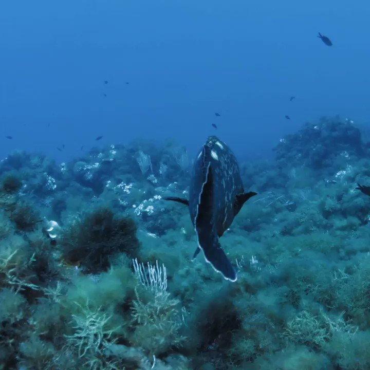 La asociación SUBMON lidera el proyecto Wildsea Divers: una iniciativa que evalúa, ofrece formación y entrega un distintivo de calidad ambiental a los centros de inmersión que fomentan un buceo sostenible. #LaGuía