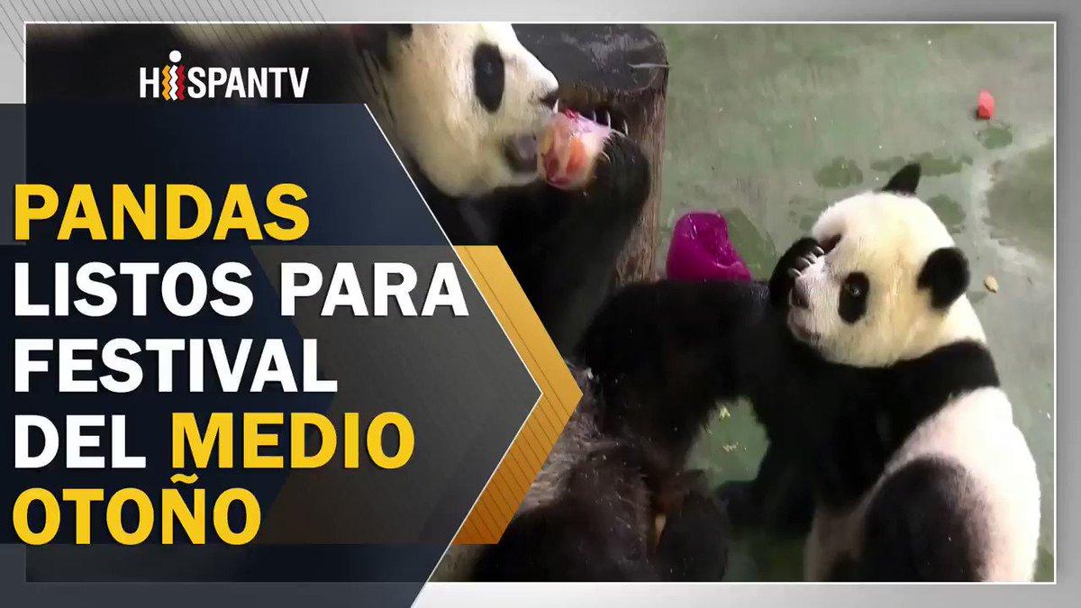 Los #Pandas también disfrutan el #Festival del Medio Otoño a su manera, se trata de una #fiesta tradicional en #China que se aprovecha para cenar en familia.#Autumn #AutumnIsComing #midautumnfestival #中秋节 #Oaxaca