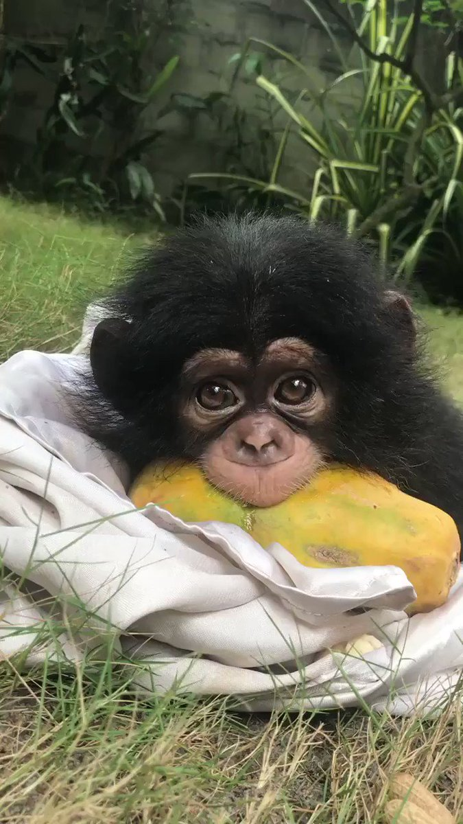If youre having a bad day, heres a baby monkey eating a papaya
