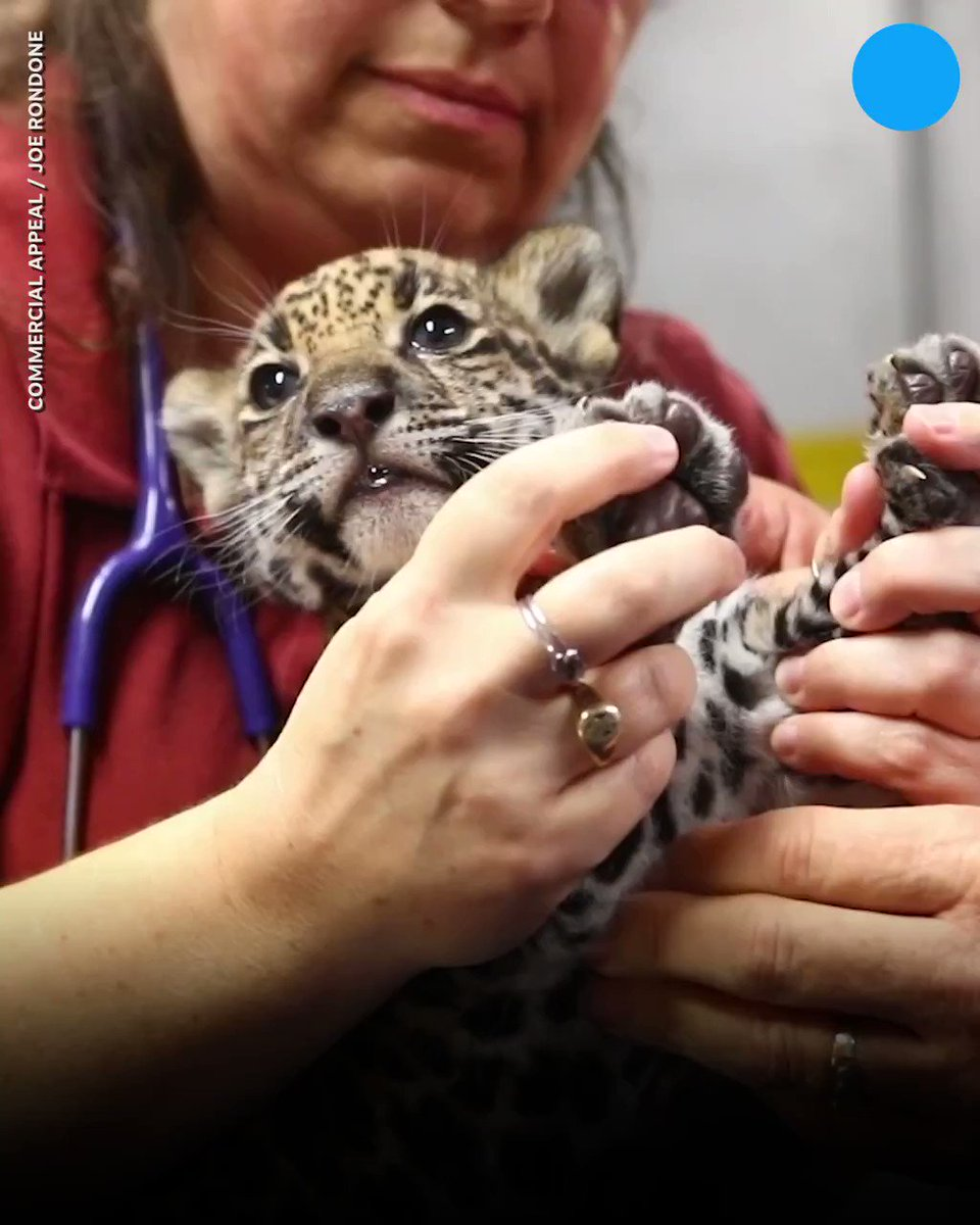 Awww! The Memphis Zoo has welcomed two baby jaguar cubs. 