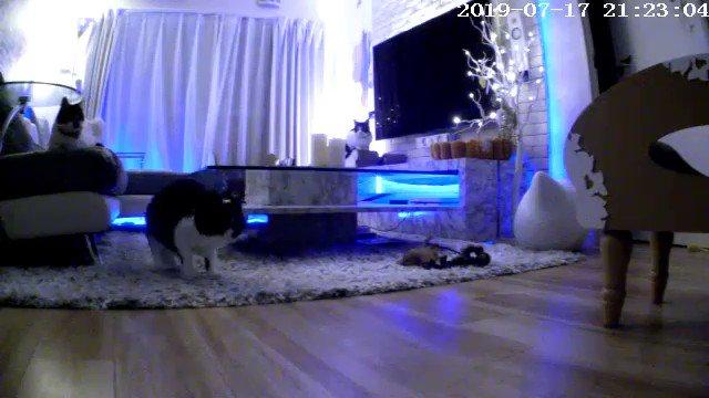 家に居ない時にお留守番カメラで猫監視してたら、一番おとなしい子が爆発してて引いた。