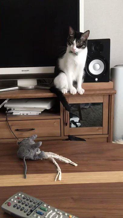 うちの猫が大好きなネズミを綺麗に洗濯して机に置いておいたら、匂いが消えたからなのか何なのか、絵に描いたようにわかりやすく困惑している・・・