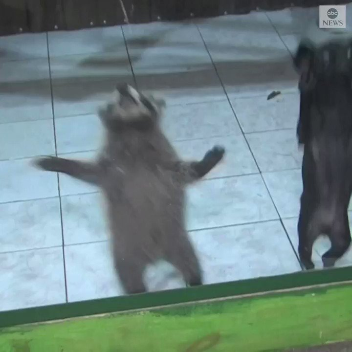 ODD COUPLE: A baby raccoon and a puppy in a Siberian zoo have become the cutest best friends you'll ever see. https://abcn.ws/2nWJ1og